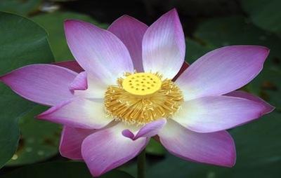 lotus pink4