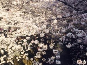 昨日は目黒川までお散歩がてら花見に。桜のカーテンのように幻想的でとっても美しかったです。