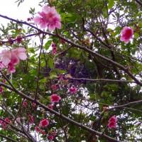 一足早く情熱ピンク❤️ 沖縄🌺