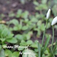 お庭に春の訪れです!スノードロップ♪