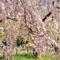 まだまだ間に合う!京都のおすすめ桜スポット5選