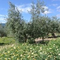 春爛漫のオリーブ畑