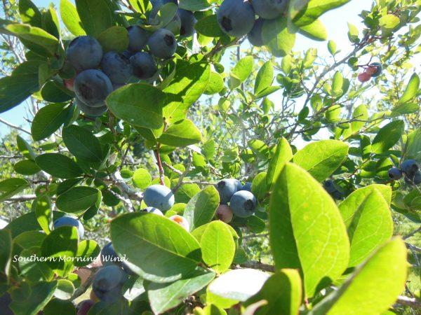 blueberry pick2