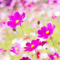 秋の花を楽しもう!「コスモス」を長持ちさせるコツ