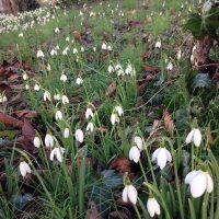 めざすは気配の美しいひと♪スノウドロップの咲く庭で