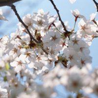 見どころいっぱい♪日帰りで楽しめる東京近郊「桜の名所」5選