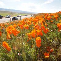 カリフォルニアポピーのお花畑