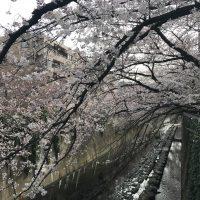 神田川早朝桜散歩