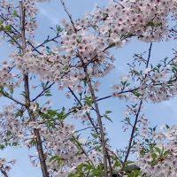 早かった春の訪れ ー デュッセルドルフの桜事情