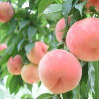 旬が到来♪おいしい「桃」の見分け方&保存方法とは