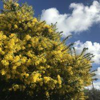 ミモザの花の季節。