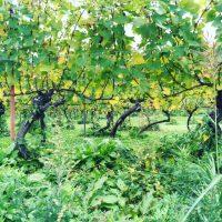 山形の新種ワインとフランスのボジョレーヌーボー
