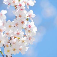 年に一度の風物詩!「桜」をキレイに撮影するヒント3つ
