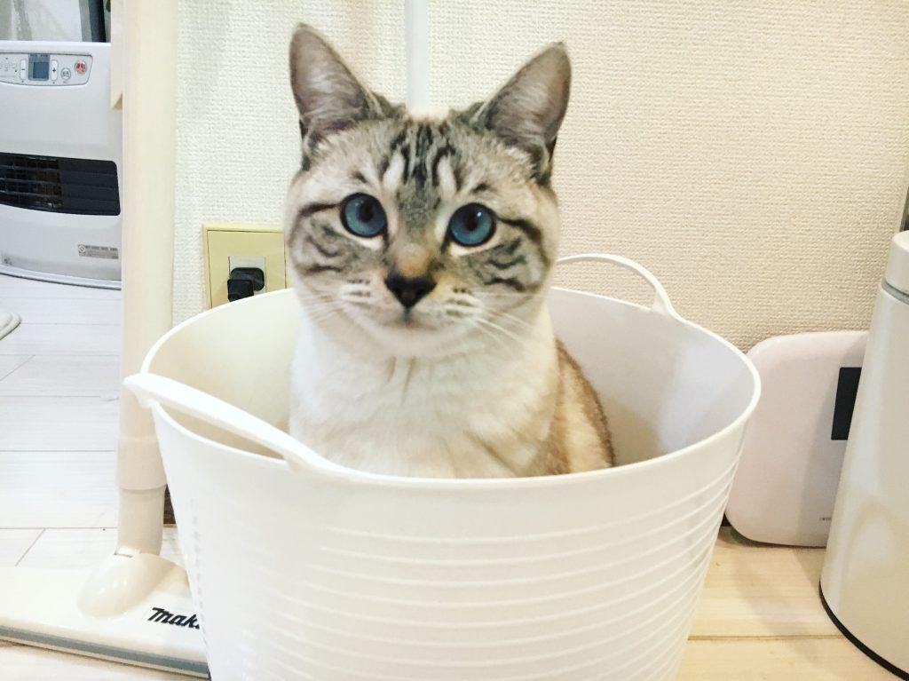 かごに入る愛猫