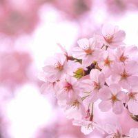 「お花見」を3単語の英語で言うと?