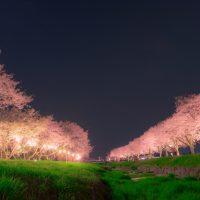 「夜桜」を英語で言うと?