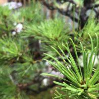 「松の木」を2単語の英語で言うと?