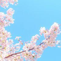 「桜」を2単語の英語で言うと?