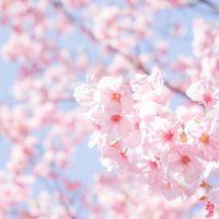 """""""満開""""ってなんて言うの?「桜」にまつわる英語フレーズ4選"""