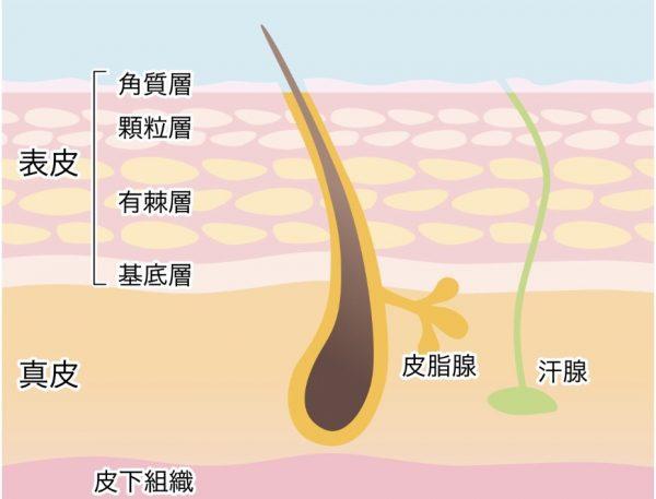 肌の角質層